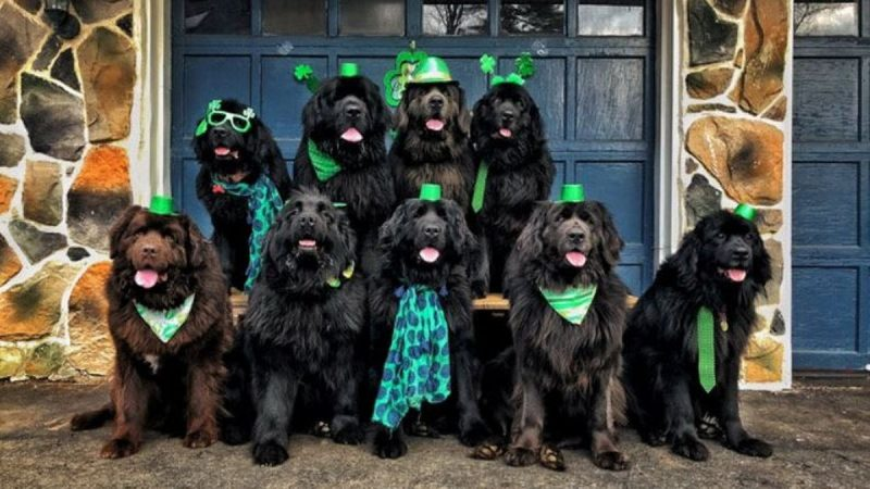 We love our pack of hounds': Dog mum opens up on life with nine Newfoundlands